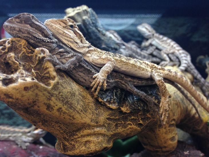 Lizard Bunk Bed